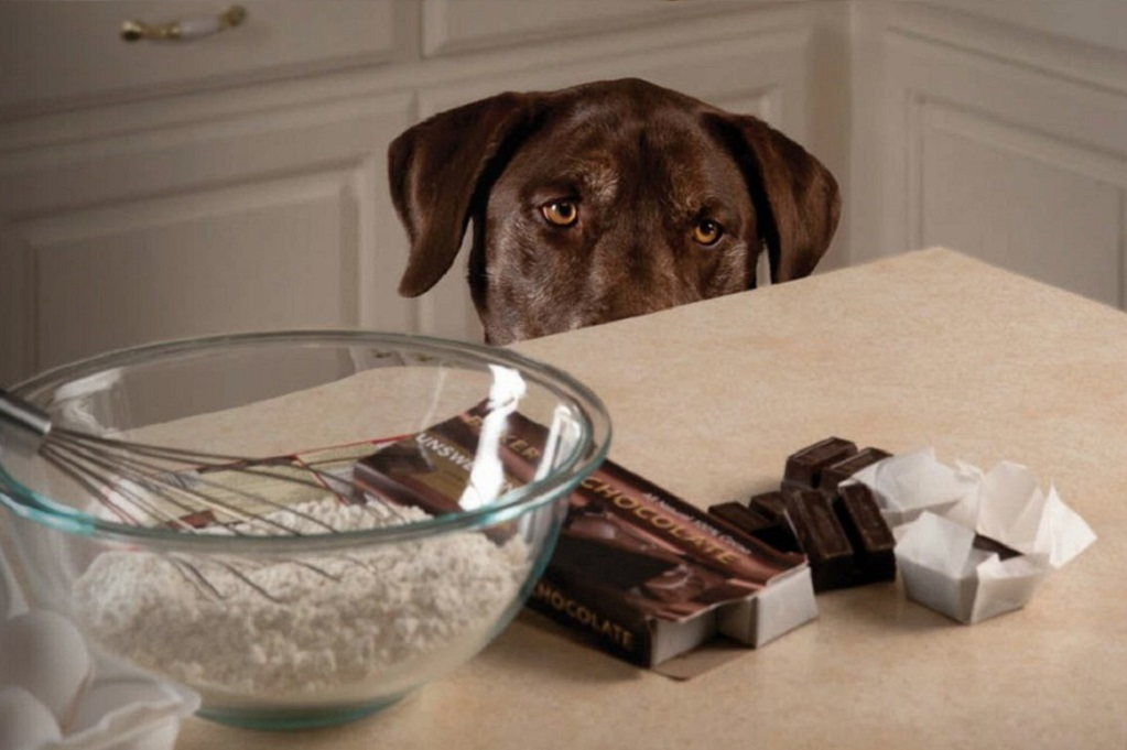 chocolate bad for dogs